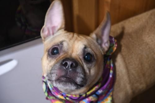 Adopt Leah On Terrier Mix Rat Terrier Mix French Bulldog Adult