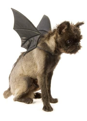 "Bat Wings Dog Costume. This Brussels Griffon is ""bat"" ass!  Notice his spine Mohawk....."