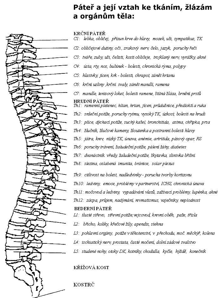 Páteř  Páteř jepředevším obrovský shluk nervů vycházející z míchy k jednotlivým částem těla, ale...