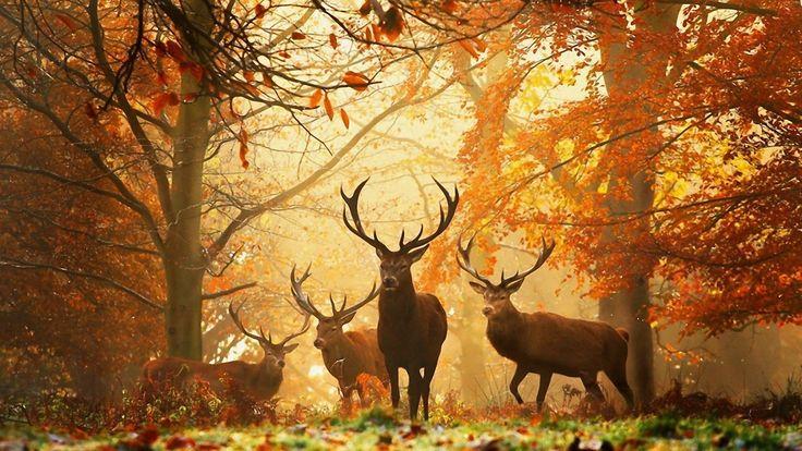 бесплатные обои трава рога осень олень лес деревья для рабочего стола