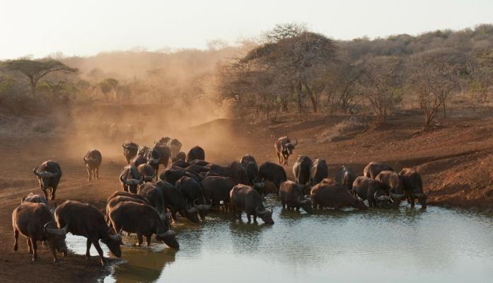 De parkwachters kregen de opdracht om de populaties van de buffels en nijlpaarden uit te dunnen. Ze hopen op deze manier te voorkomen dat duizenden andere dieren zullen sterven van dorst.