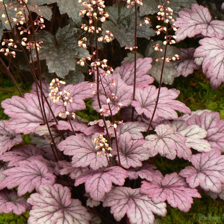 Heuchera 'Sugar Plum'- something in this color family is SUPER easy to find!