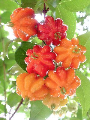 Cerises du Brésil - SURINAM CHERRY Eugenia uniflora, brazilian Pitanga exotic fruit