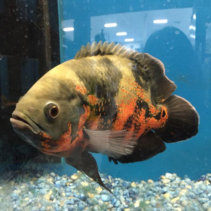 An Oscar Fish