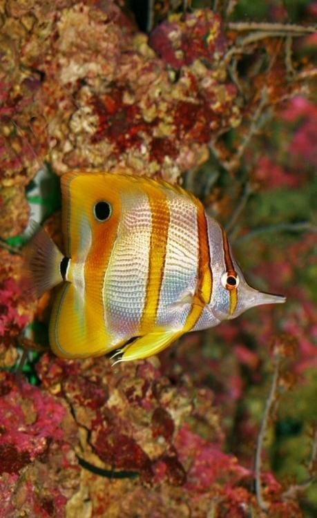 Copper Banded ^Butterfly fish