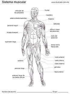 Esquema de sistema muscular con los nombres de sus partes.