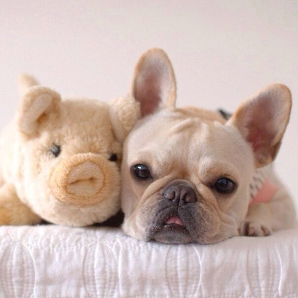 French Bulldog and his 'Piggy'. For more cute puppy pics visit www.prettyfluffy.com