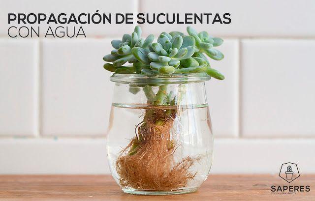 propagación de suculentas con agua | saperes