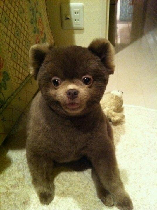 black teddy bear pomeranian - photo #29
