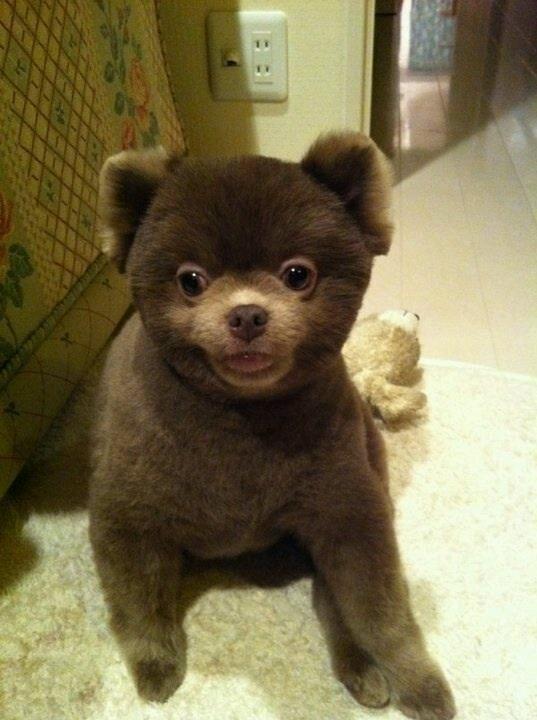 teddy bear pomeranian king pinterest teddy bear