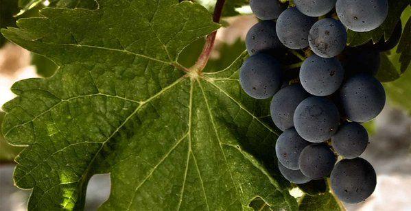 Los Vinos de Ucles están elaborados con 10 variedades de uvas ¿Quieres saber cuáles son?