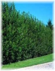 Fast Growing Privacy Trees - Thuja Gardens
