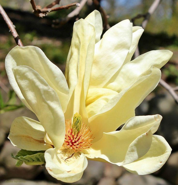 растущий плод желтой магнолии