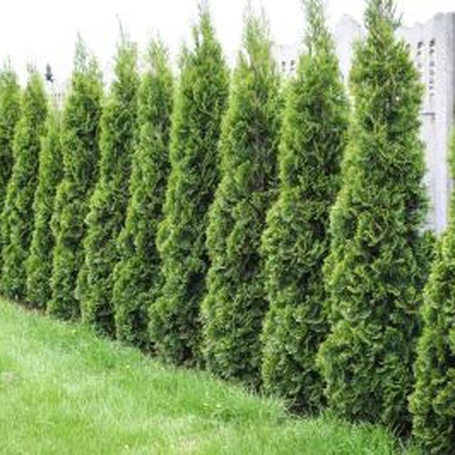 how to care for an emerald green arborvitae hedges emerald green and spaces. Black Bedroom Furniture Sets. Home Design Ideas