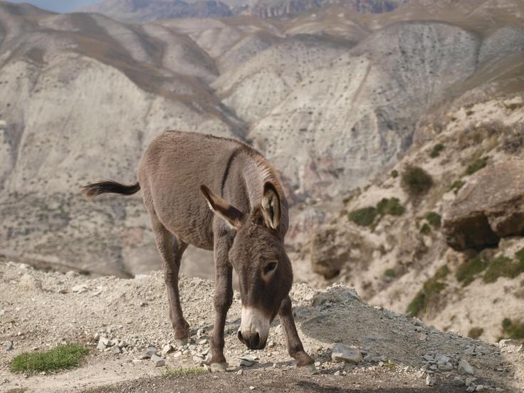 Azerbejdżan - osiołek w górach