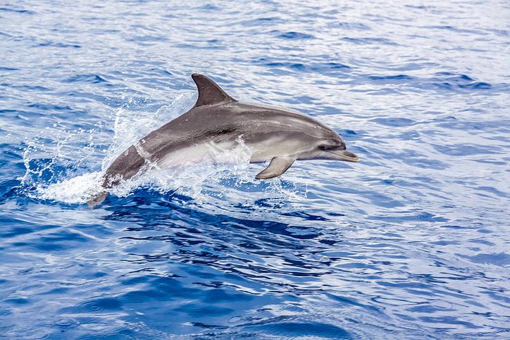Delfiinien bongaaminen on Madeiralla mahdollista. Kokemus, jota ei hevillä unohda. #Madeira #Aurinkomatkat #delfiinit