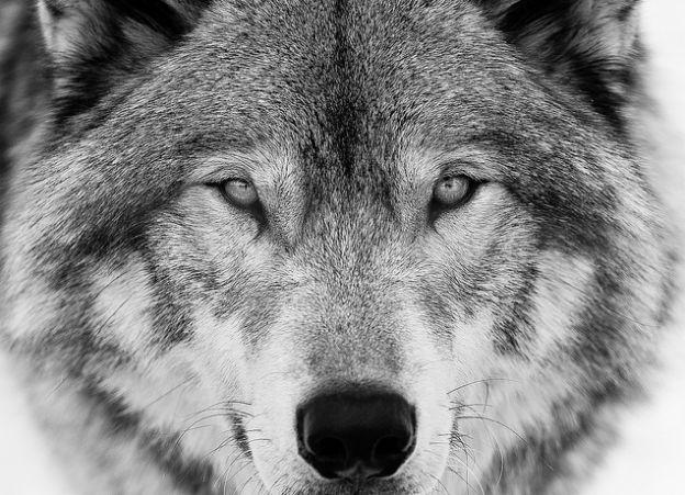 L'appel du loup  de Fabrice Nicolino