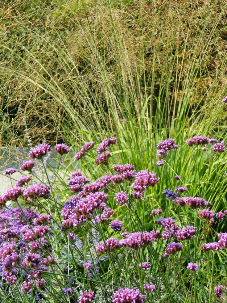 Verbena bonariensis tall verbena ornamental grass at for Ornamental grasses that grow tall