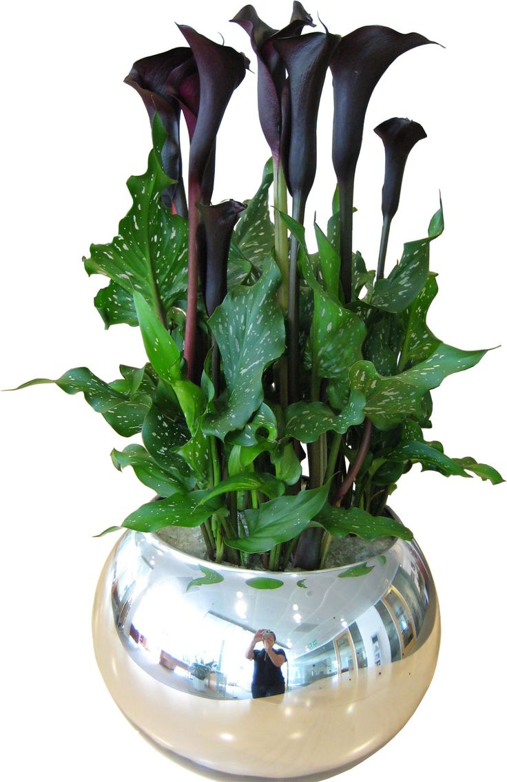Canna lily in silver bowl