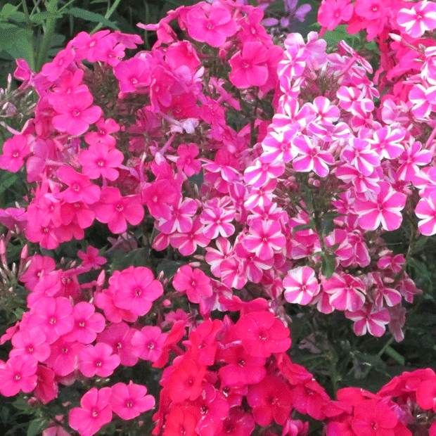 31 best images about phlox on pinterest gardens sun and front yard landscaping. Black Bedroom Furniture Sets. Home Design Ideas