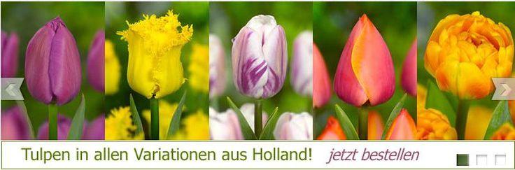 Blumenzwiebeln bestellen online günstigen preisen in unserem shop wenn sie online blumenzwiebeln kaufen Holland einfach und sicher bestellen wollen. Please visit website: http://www.superblumenzwiebeln.de/unser-betrieb