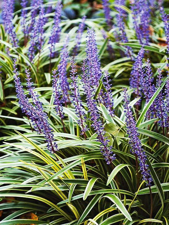 Name: Lilyturf, (Liriope)  An easy-to-grow favorite shade perennial. Loved for its grassy foliage and spikes of blue or white flowers in late summer, as well as its resistance to deer and rabbits, lilyturf is practically a plant-it-and-forget garden resident. It grows best in Zones 5-10 and grows a foot tall.    Test Garden Tip: Lilyturf can be a fast, almost aggressive spreader when it's happy.