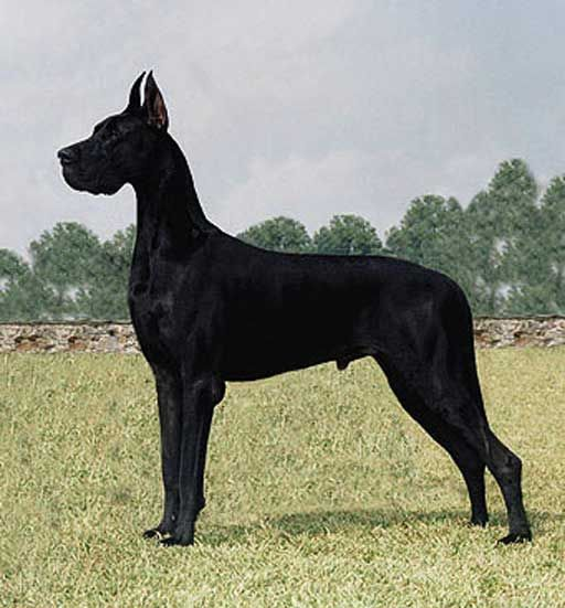Great Dane Pictures 11