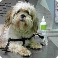 Shih Tzu Mix Dog for adoption in Atlanta, Georgia - CHARLIE