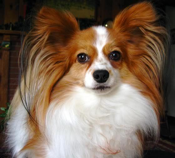 Le chien papillon, petit amour sur pattes - Webzine Animaux de compagnie