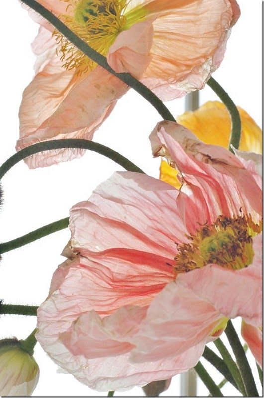 Poppies #flowers #photography