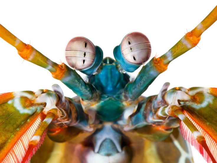 mantis-shrimp-Odontodactylus-scyllarus-color-receptors-2048.jpg (2048×1537)