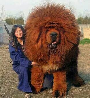 Tibetan mastiff. Most expensive dog in the world.