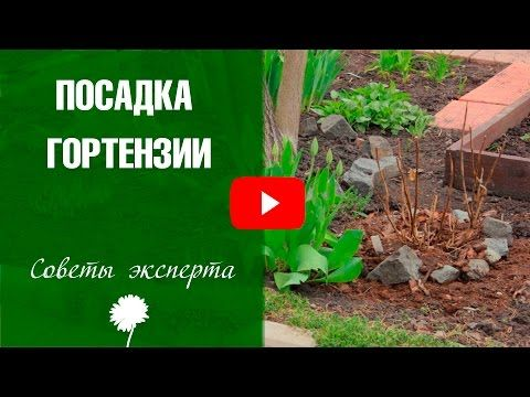 Гортензия крупнолистная: уход, укрытие на зиму - YouTube