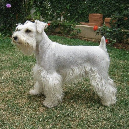 131 Best Images About Miniature Schnauzer Pt 2 On