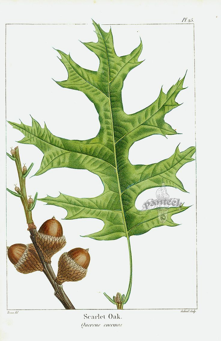9 best the desire of botany images on pinterest botany oak