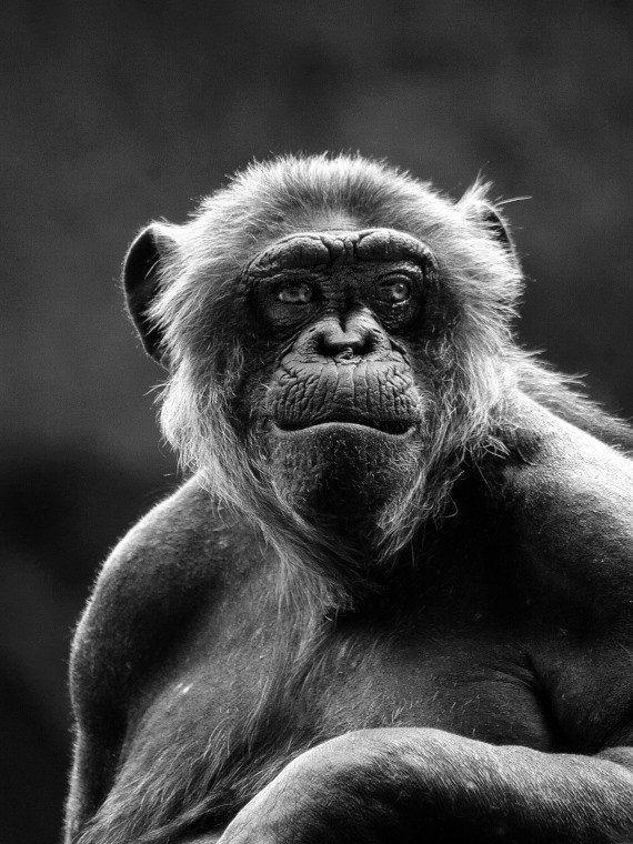 Chimpanzee, Fine Art Photography Print, Black  White -3477