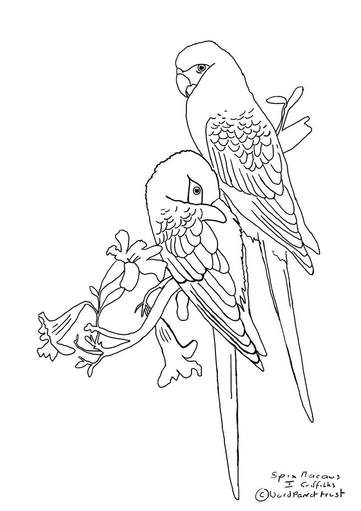 Free Colouring Page Spix S Macaw In 2019 Free Coloring Pages
