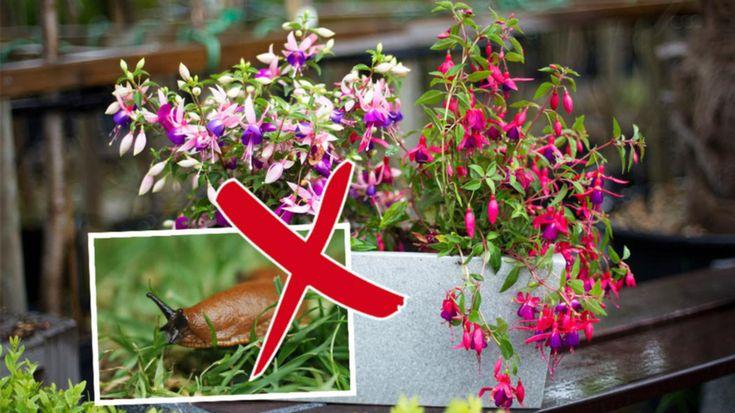 Mördarsniglar . Tror du att de äter allt i sin väg? Då kan vi lugna dig. Det finns massor de inte gillar. Här är 15 blommor som de faktiskt inte alls äter!
