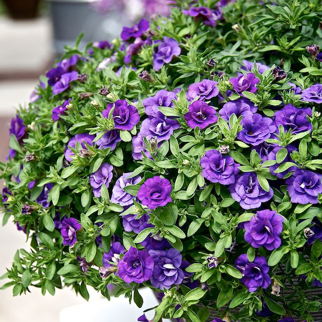 5 Gorgeous Flowering Container Garden Plants that Love Sun: Calibrachoa or Million Bells