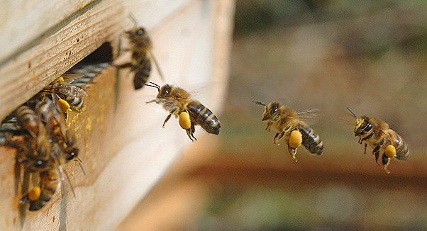 The South Carolina Mid-State Beekeepers Association - Honey Bee Life Cycle
