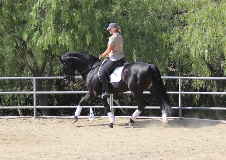 Primoroso XXXIII ~ PRE Stallion ~ For Sale ~ 13 year old, 16.3 hh ...