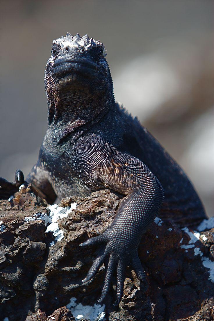 37 best galapagos marine iguana images on pinterest iguanas