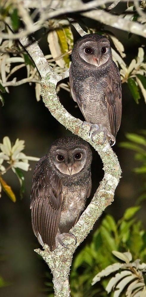 The Greater Sooty Owl (Tyto Tenebricosa).