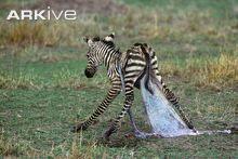 Plains zebra new born standing up