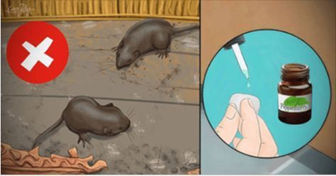 4 truques caseiros para você manter os ratos bem longe de sua casa! | Cura pela Natureza