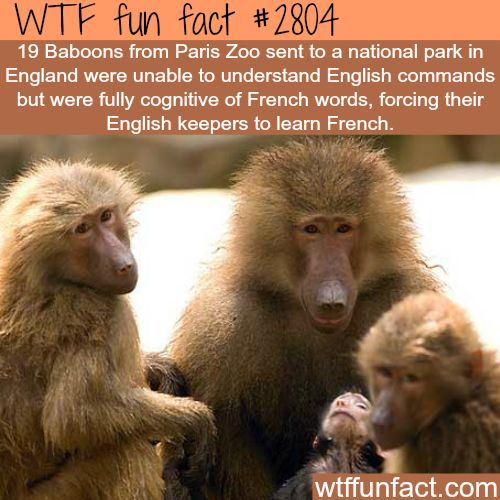french baboons don t understand english wtf fun facts. Black Bedroom Furniture Sets. Home Design Ideas