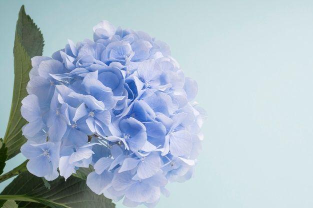 Blue Hydrangeas Flowers On Background Free Photo Freepik Freephoto Background Flower Floral Blue In 2020 Blue Hydrangea Flowers Blue Hydrangea Hydrangea Flower