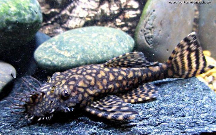 images about Aquarium Fishes - Plecos & Ancistrus on Pinterest Frogs ...