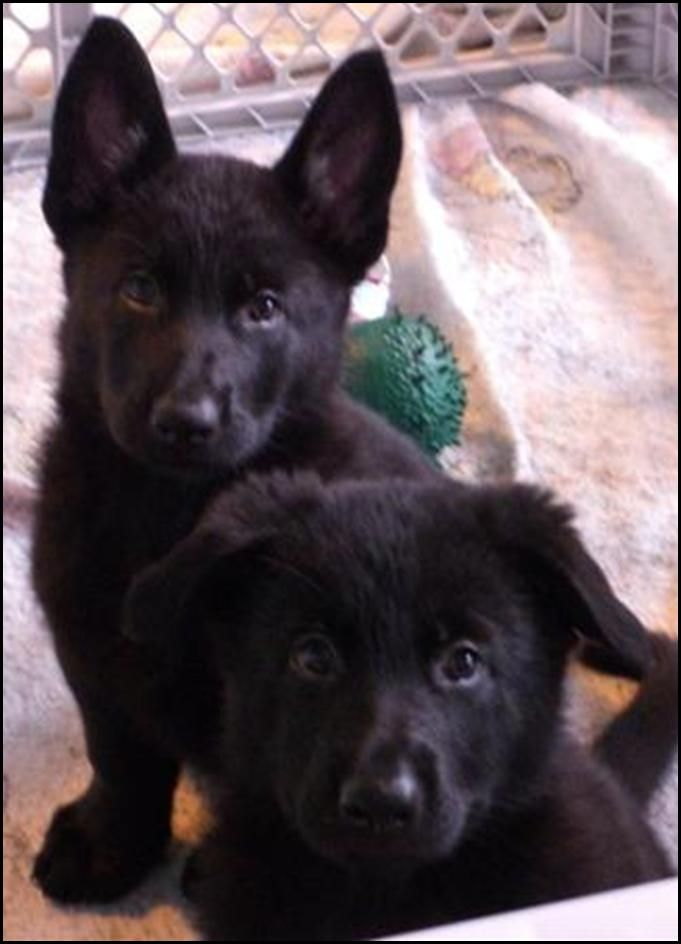 Omg, i can only imagine how cute my dog would've been as a pup. 8 weeks - black German Shepherds
