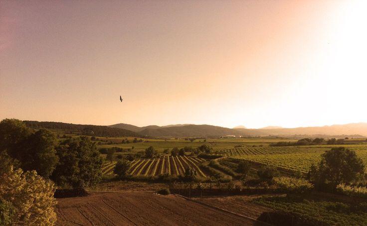 The vineyards of Planas Albareda - Penedès, Spain
